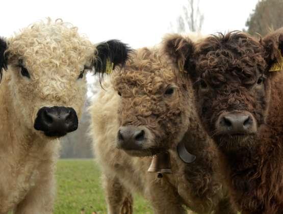Des vaches heureuses ! Poilues et génétiquement sans cornes !